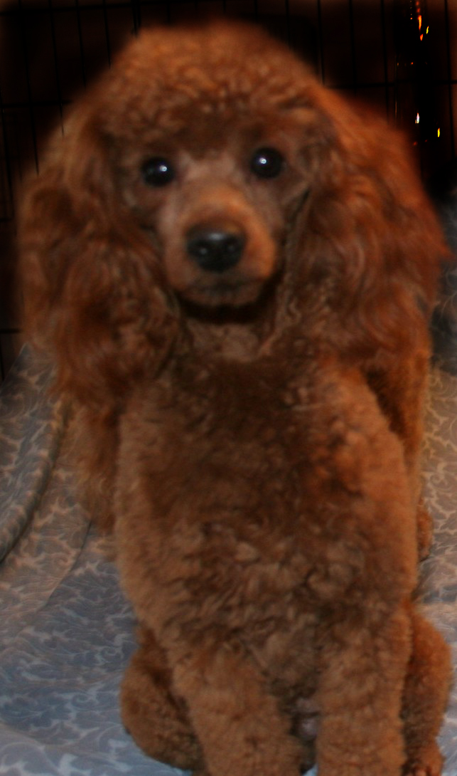 Sires and Dams,Toy Poodles,Tiny Toy Poodles,Tea Cup Poodle
