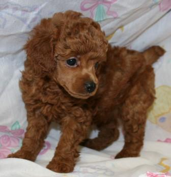Poodle Puppies for Sale, Red Poodle, Miniature poodles, Toy