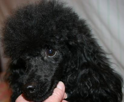 Sires And Dams Toy Poodles Tiny Tea Cup Poodle Miniature Breeder Puppies For Akc