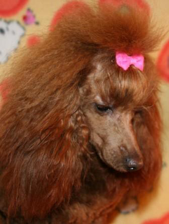 Images of red poodle