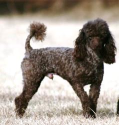Image Result For Poodles For Sale In North Texas