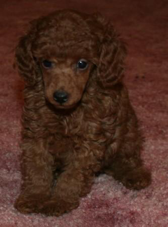 Red Poodles, Red Poodle puppies, Red poodle pictures, Poodle